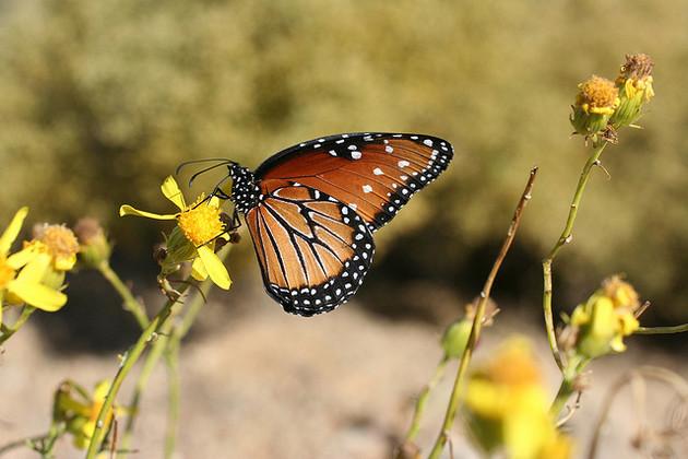 queen-butterfly-3-23-15-thumb-630x420-89903