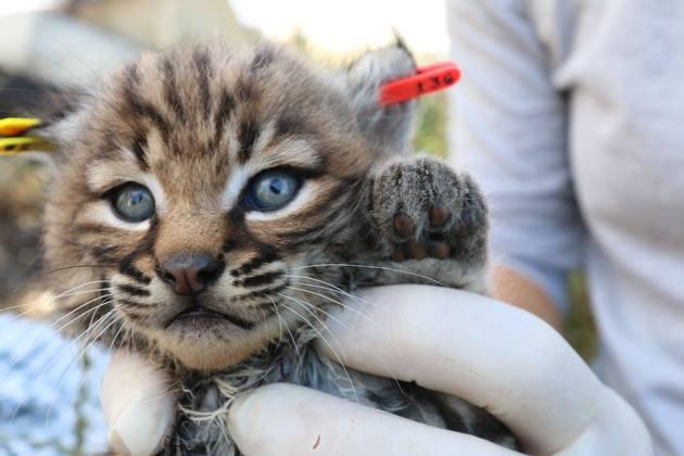 b327-bobcat-kitten-4-21-15-thumb-630x420-91478