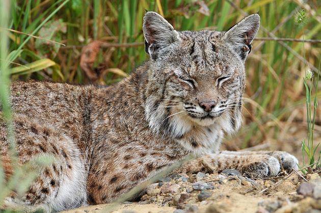 bobcat-trapping-ban-4-17-15-thumb-630x418-91375