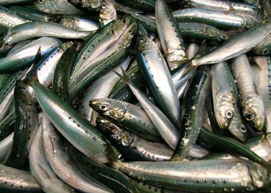 pacific-sardines-4-17-15-thumb-630x448-91371
