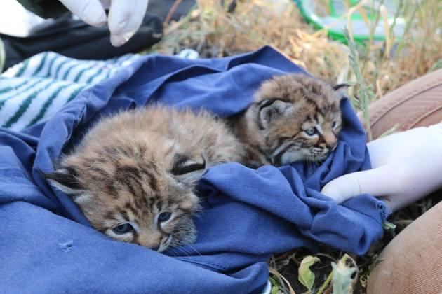siblings-bobcat-kittens-4-21-15-thumb-630x420-91482