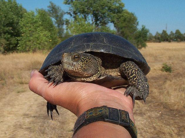 western-pond-turtle-4-9-15-thumb-630x472-90820
