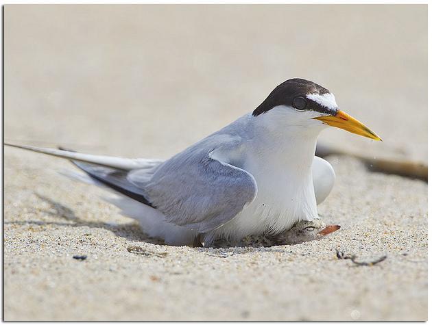least-tern-natural-area-5-18-15-thumb-630x475-92678