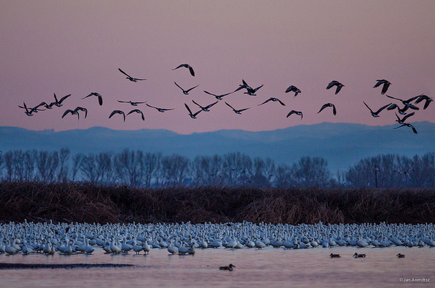 more-geese-snow-ross-merced-6-26-15-thumb-630x417-94653