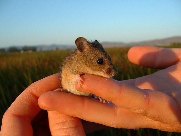salt-marsh-harvest-mouse-6-26-15-thumb-630x472-94690