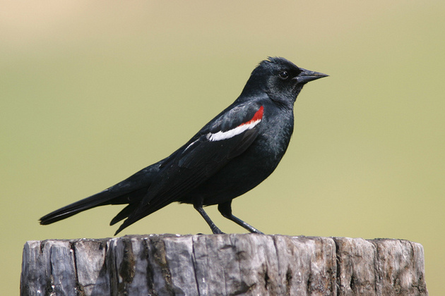 tricolored-blackbird-6-25-15-thumb-630x420-94630
