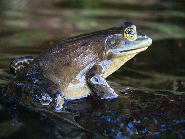 American_bullfrog-7-6-15-thumb-630x473-94916