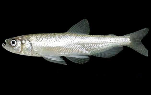 longfin-smelt-adult-7-7-15-thumb-630x400-94945
