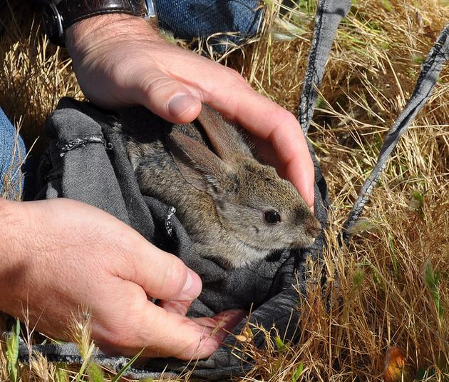 riparian-brush-rabbit-7-8-15-thumb-630x535-95009