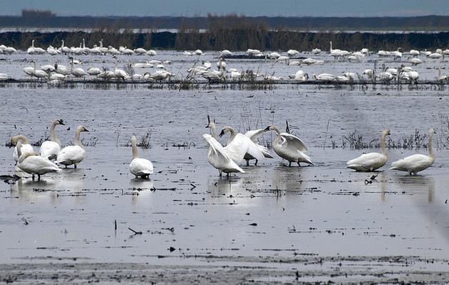 tundra-swans-7-14-15-thumb-630x401-95262