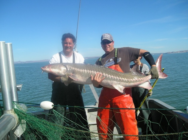 white-sturgeon-thumb-630x471-95193