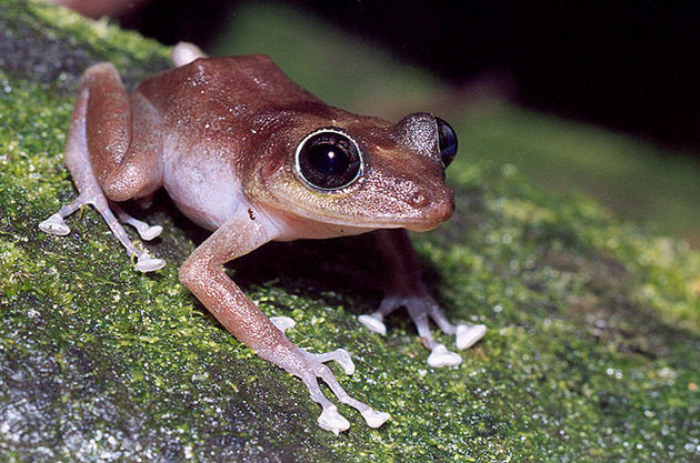 640px-Femail_guajon_frog_on_tree-thumb-630x417-97482