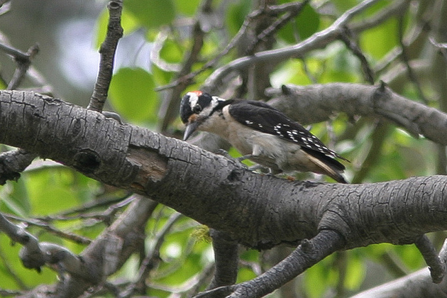 hairy-woodpecker-10-14-15-thumb-630x420-98180