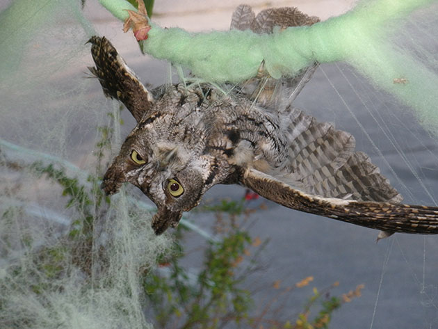 owl-snared-10-16-15-thumb-630x473-98232