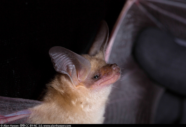 Here's to the Bats of California! | KCET on ranch art, ranch modular homes, floor plans, ranch log homes, townhouse plans, summer cottage plans, log cabin plans, 3 car garage plans, ranch style homes, ranch luxury homes, ranch backyard, strip mall plans,