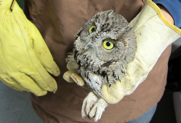 screech-owl-10-16-151-thumb-630x428-98228