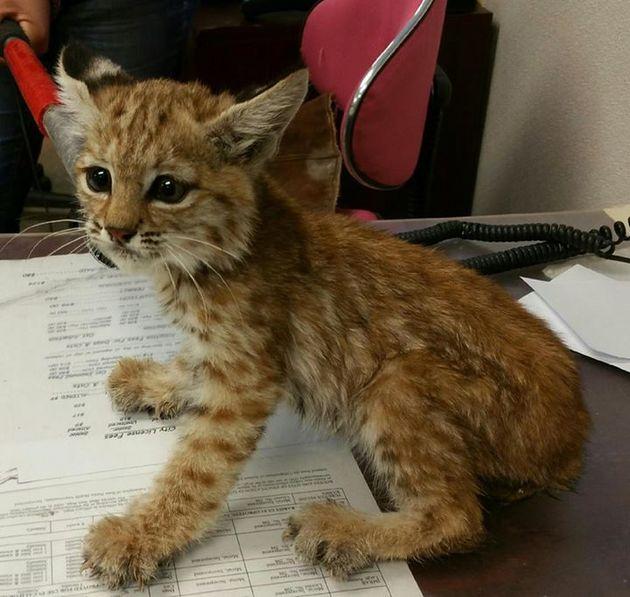 0914-bobcat-kitten-thumb-630x597-100209