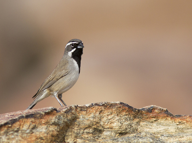 black-chinned-6-30-14-thumb-630x469-100272