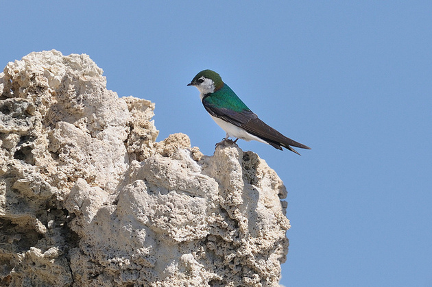 violet-green-swallow-1-4-16-thumb-630x419-100270