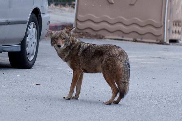 coyote-1-20-16-thumb-630x419-100896