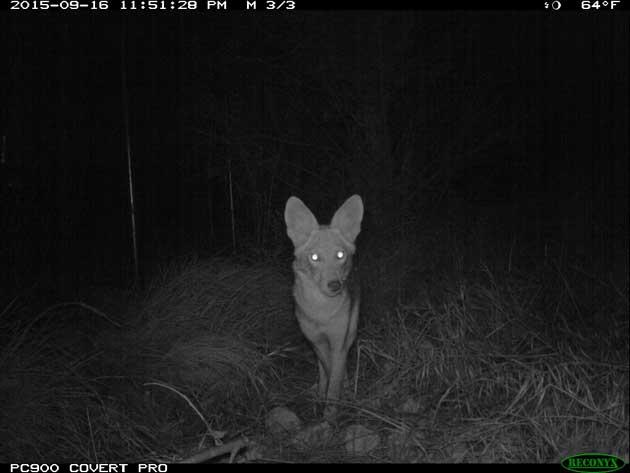 coyote-146-1-20-16-thumb-630x473-100898