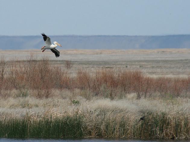 malheur-pelican-1-12-16-thumb-630x471-100684