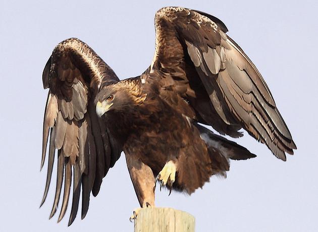 golden-eagle-2-18-15-thumb-630x460-88277