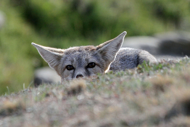 san-joaquin-kit-fox-3-12-15-thumb-630x420-89367