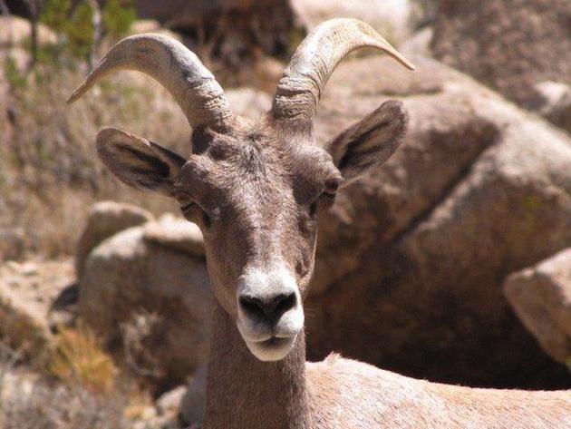 soda-mountain-bighorn-sheep-3-6-15-thumb-630x473-89095