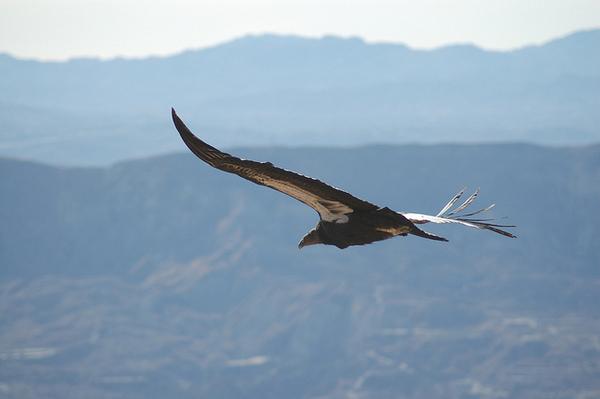 California-condor-7-27-12-thumb-600x399-33212