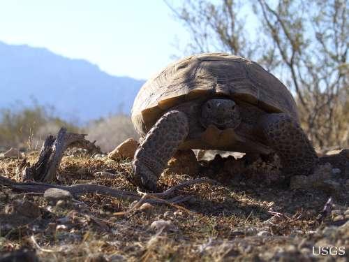 Desert-tortoise-USGS-7-16-12-thumb-600x450-32415