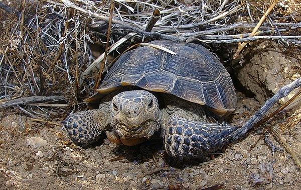 Desert-tortoise-8-24-12-thumb-600x378-34855