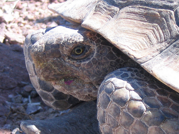 Desert-tortoise-8-9-12-thumb-600x450-33949