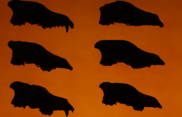 Dire-Wolves-8-1-12-thumb-600x385-33498