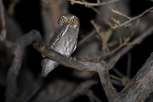 Elf-Owl-Rio-Mesa-8-23-12-thumb-600x400-34761