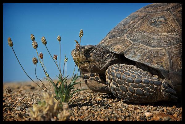 desert-tortoise-DRECP-8-3-12-thumb-600x405-33664
