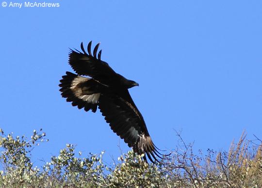 eagle-12-24-12-thumb-600x431-42612