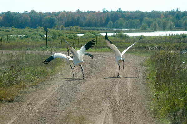 whooping-cranes-2-8-13-thumb-600x398-45093