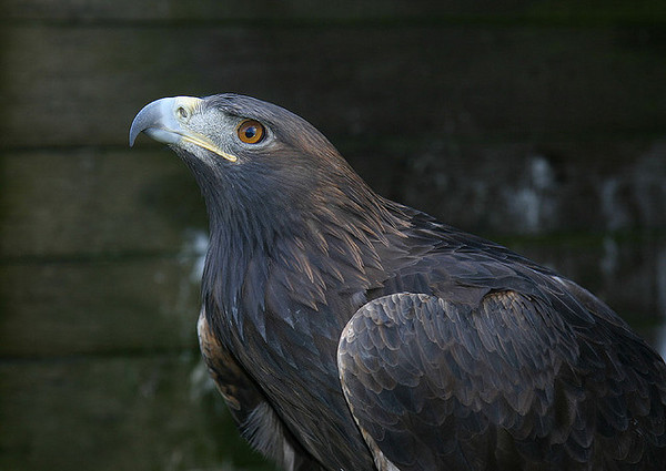 Golden-eagle-3-22-13-thumb-600x425-47647