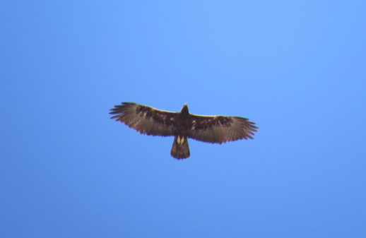 Golden-eagle-HH-thumb-600x390-47790