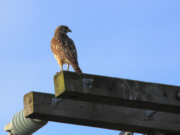 red-shouldered-power-pole-3-8-13-thumb-600x450-46763