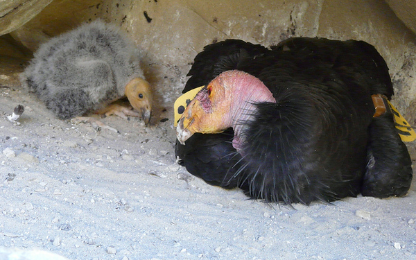 Condor-and-chick-2013-05-14-thumb-600x375-51006