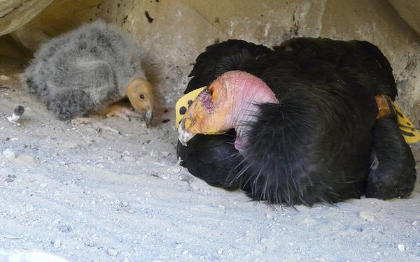 Condor-and-chick-2013-05-14-thumb-600x375-51006