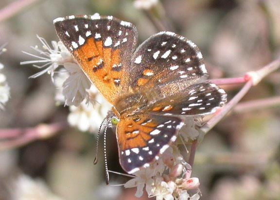 RS10023_langes_metalmark_butterfly_USFWS_FPWC-thumb-600x429-56276