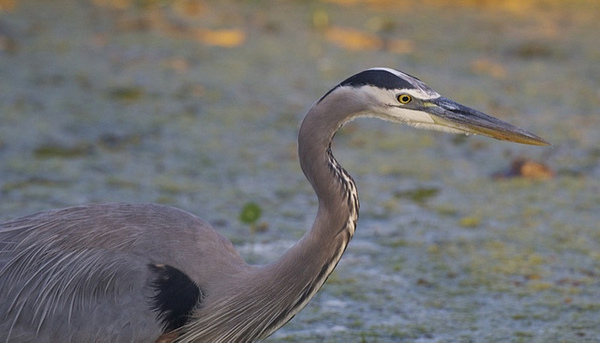 great-blue-heron-7-19-13-thumb-600x343-55802