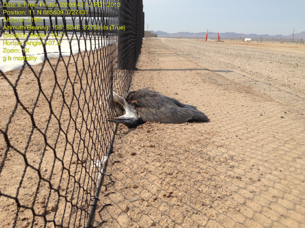 great-blue-heron-dead-7-19-13-thumb-600x449-55800