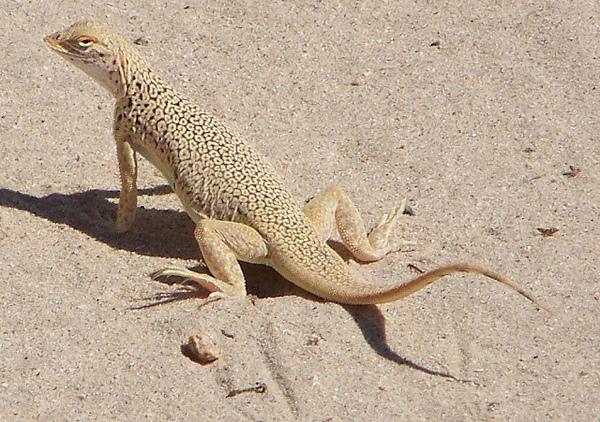 mojave-fringe-toed-lizard-7-31-13-thumb-600x422-56864
