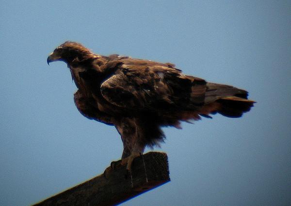 eagle-8-16-13-thumb-600x426-58079