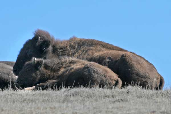 catalina-bison-12-18-13-thumb-600x400-66056