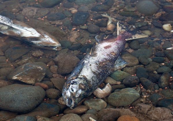 salmon-12-04-13-thumb-600x420-65093